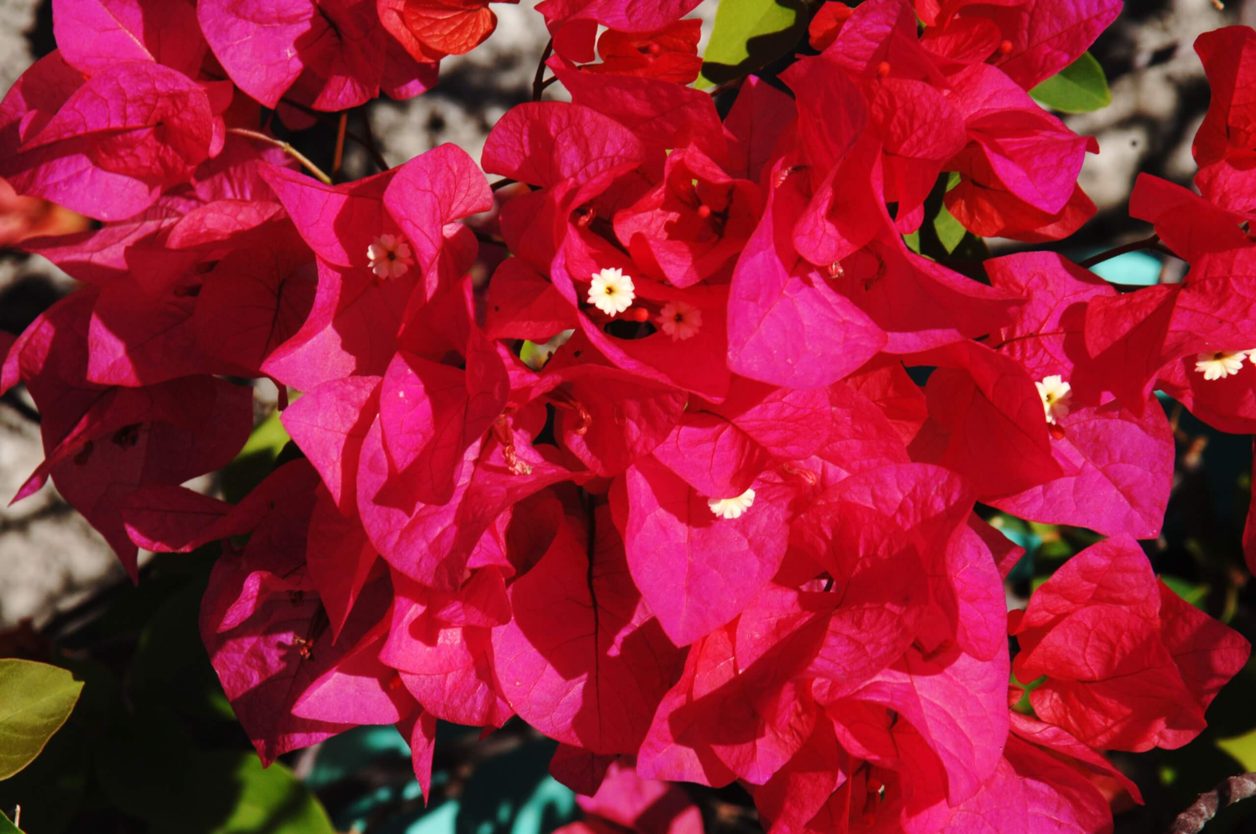 Bougainvillea National Flower
